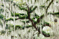 Tim Barnwell  -  Spanish Moss-draped tree, Beaufort, SC / Pigment Print  -  Available in Multiple Sizes