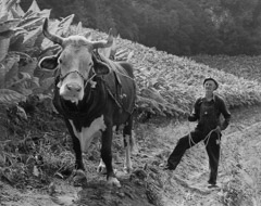 Tim Barnwell  -  Collie Payne and Steer, Berry, in Tobacco Field, Big Pine Creek, Madison County, NC, 1981 / Silver Gelatin Print  -  16 x 20