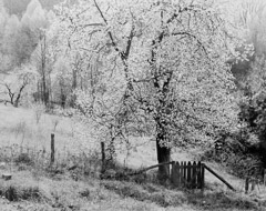 Tim Barnwell  -  Apple Trees in Bloom, Willow Creek, Big Sandy Mush, Buncombe County, NC, 1983 / Silver Gelatin Print  -  16 x 20