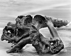 Wynn Bullock  -  Driftwood, 1951 / Pigment Print  -  Available in multiple sizes