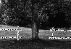 Edna Bullock  -  Holstein Fence 1996 / Pigment Print  -  available in multiple sizes