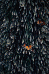 Peter Essick  -  Monarch Butterflies, Mexico / Pigment Print  -  available in multiple sizes
