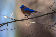 Peter Essick  -  Eastern Bluebird / Pigment Print  -  Available in Multiple Sizes