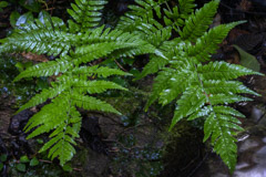 Peter Essick  -  Silvery Glade Ferns / Pigment Print  -  Available in Multiple Sizes