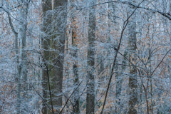 Peter Essick  -  Winter Forest, after ice storm / Pigment Print  -  Available in Multiple Sizes