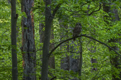 Peter Essick  -  Barred Owl / Pigment Print  -  Available in Multiple Sizes