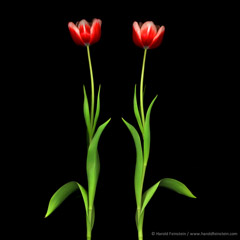 Harold Feinstein  -  Two Tulip Stems / Pigment Print  -  available in multiple sizes