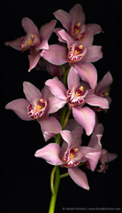 Harold Feinstein  -  Cymbidium Orchids / Pigment Print  -  available in multiple sizes
