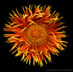 Harold Feinstein  -  Flame Spider Mum / Pigment Print  -  available in multiple sizes