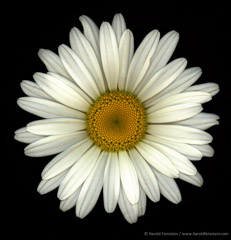 Harold Feinstein  -  Shasta Daisy / Pigment Print  -  available in multiple sizes