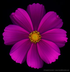 Harold Feinstein  -  Magenta Cosmos / Pigment Print  -  available in multiple sizes