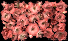 Harold Feinstein  -  Pink Azaleas / Pigment Print  -  available in multiple sizes
