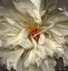Harold Feinstein  -  White Peony / Pigment Print  -  available in multiple sizes