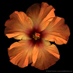 Harold Feinstein  -  Orange Chinese Hibiscus / Pigment Print  -  available in multiple sizes