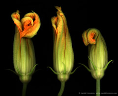 Harold Feinstein  -  Three Squash Blossoms / Pigment Print  -  available in multiple sizes