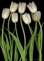 Harold Feinstein  -  Seven White Tulips / Pigment Print  -  available in multiple sizes
