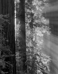 Philip Hyde  -  Avenue Of The Giants, Humboldt Redwoods State Park, California, 1964 / Pigment Print  -  20 x 16