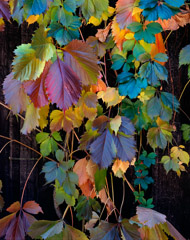 Philip Hyde  -  Virginia Creeper, Northern Sierra Nevada, California, 1977 / Pigment Print  -  14 x 11