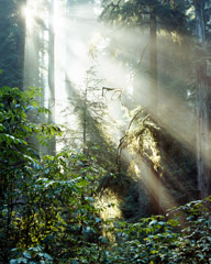 Philip Hyde  -  Sun Through Giant Forest, Del Norte Coast Redwoods State Park, California, 1978 / Pigment Print  -  19 x 15 (28 x 22 matt)