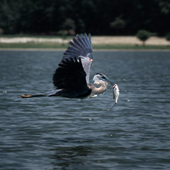 Diane Kirkland  -  Heron / Pigment Print  -  Available in Multiple Sizes
