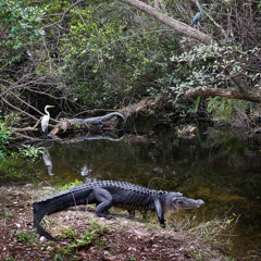 Diane Kirkland  -  Gator and Egret / Pigment Print  -  Available in Multiple Sizes