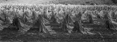 Mark Maio  -  Harvest of Souls, Lexington, KY, 1999 / Carbon Pigment Print  -  10.5 x 32