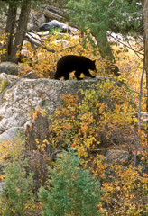 Tom Murphy  -  Black Bear on Rock / Color Pigment Print  -  Available in multiple sizes