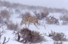 Tom Murphy  -  Coyote in Ground Blizzard / Color Pigment Print  -  Available in multiple sizes