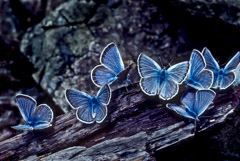 Tom Murphy  -  Royal Blue Butterflies / Color Pigment Print  -  Available in multiple sizes