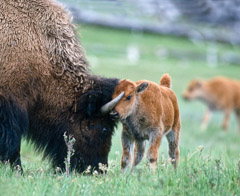 Tom Murphy  -  Bison Calf and Cow Playing / Color Pigment Print  -  Available in multiple sizes