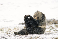 Tom Murphy  -  Grizzly  Sow Playing with her Toes / Color Pigment Print  -  Available in multiple sizes