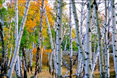 Tom Murphy  -  Aspen Trunks / Color Pigment Print  -  Available in multiple sizes