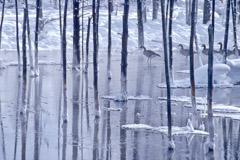 Tom Murphy  -  Canada Geese and Bobby Sox Trees / Color Pigment Print  -  Available in multiple sizes