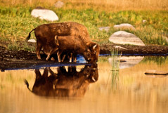 Tom Murphy  -  Bison Cow and Calf Reflection / Color Pigment Print  -  Available in multiple sizes