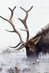 Tom Murphy  -  Bull Elk Long Winter  / Color Pigment Print  -  16 x 24