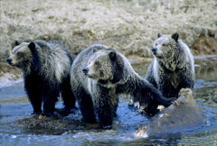 Tom Murphy  -  Grizzly Sow & Cubs on Carcass in Obsidian Creek / Color Pigment Print  -  Available in multiple sizes