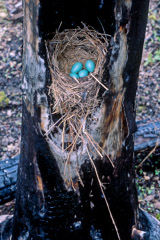 Tom Murphy  -  Robin Eggs in Burned Tree / Color Pigment Print  -  Available in multiple sizes