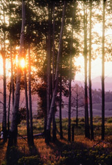 Tom Murphy  -  Sunset, Aspens near Crystal Creek / Color Pigment Print  -  Available in multiple sizes