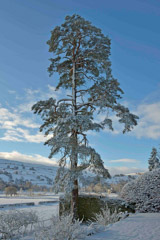 Richard Pare  -  Old Scots Pine in the garden / Pigment Print  -  Available in Multiple Sizes