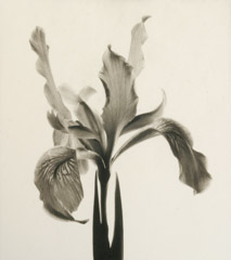 Rondal Partridge  -  North Coast Iris, Berkley, 1996 / Platinum Palladium  -  8 x 7.5