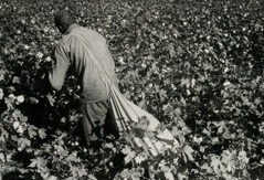 Rondal Partridge  -  Picking Cotton, Circa, 1937 /   -  6.5 x 9.5