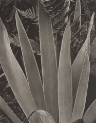 Paul Strand  -  Wild Iris, Maine, 1927 / Photogravure  -  7.5 x 9.5