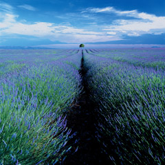 Robert Weingarten  -  Lavender Field & Lone Tree, Provence, France, 1999 / Pigment Print  -  24 x 24