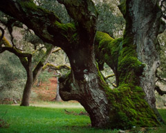 Robert Glenn Ketchum  -  Patriarch Oak, 1993 / Cibachrome Print  -  18.75 x 23.5 on 20 x 24