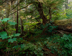 Robert Glenn Ketchum  -  Bear Trail in Old Growth, ANIM, 1986 / Cibachrome Print  -  24 x 30