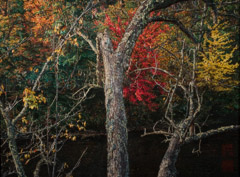 Robert Glenn Ketchum  -  Old Tree in Autumn Forest, 2004 / Chromogenic Print  -  14.5 x 20