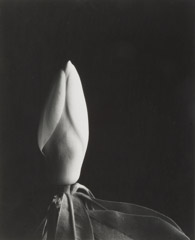 Imogen Cunningham  -  Magnolia Bud, 1920s (uncropped) / Silver Gelatin Print  -  9.25 x 7.25 - IC227