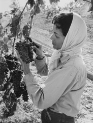 Ansel Adams  -  Young Woman Picking Grapes / Silver Gelatin Print  -  12.5 x 9 (16x20 mat)