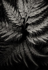Cara Weston  -  Fern, Hawaii 2012 / Pigment Print  -  Available in Multiple Sizes