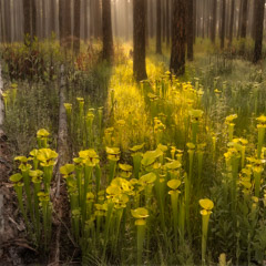 Diane Kirkland  -  Pitcher Plant Bog, Doerun GA / Pigment Print  -  Available in Multiple Sizes